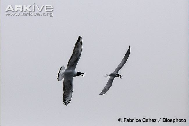 interactions betweeen charadriiformes birds black headed gull