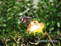 Rottend fruit voor vlinders: rotte en overrijpe appels en vooral pruimen en peren zijn ideaal