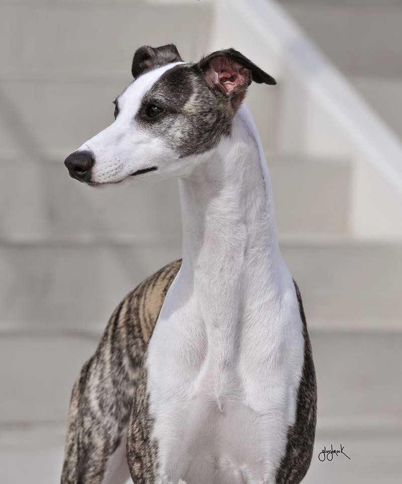 WHIPPET DAY TWO IN KEN...