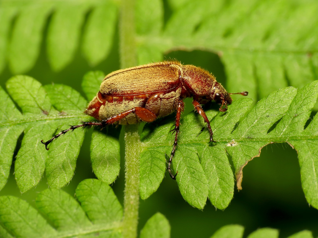 Rose Chafers ! Garden Bible