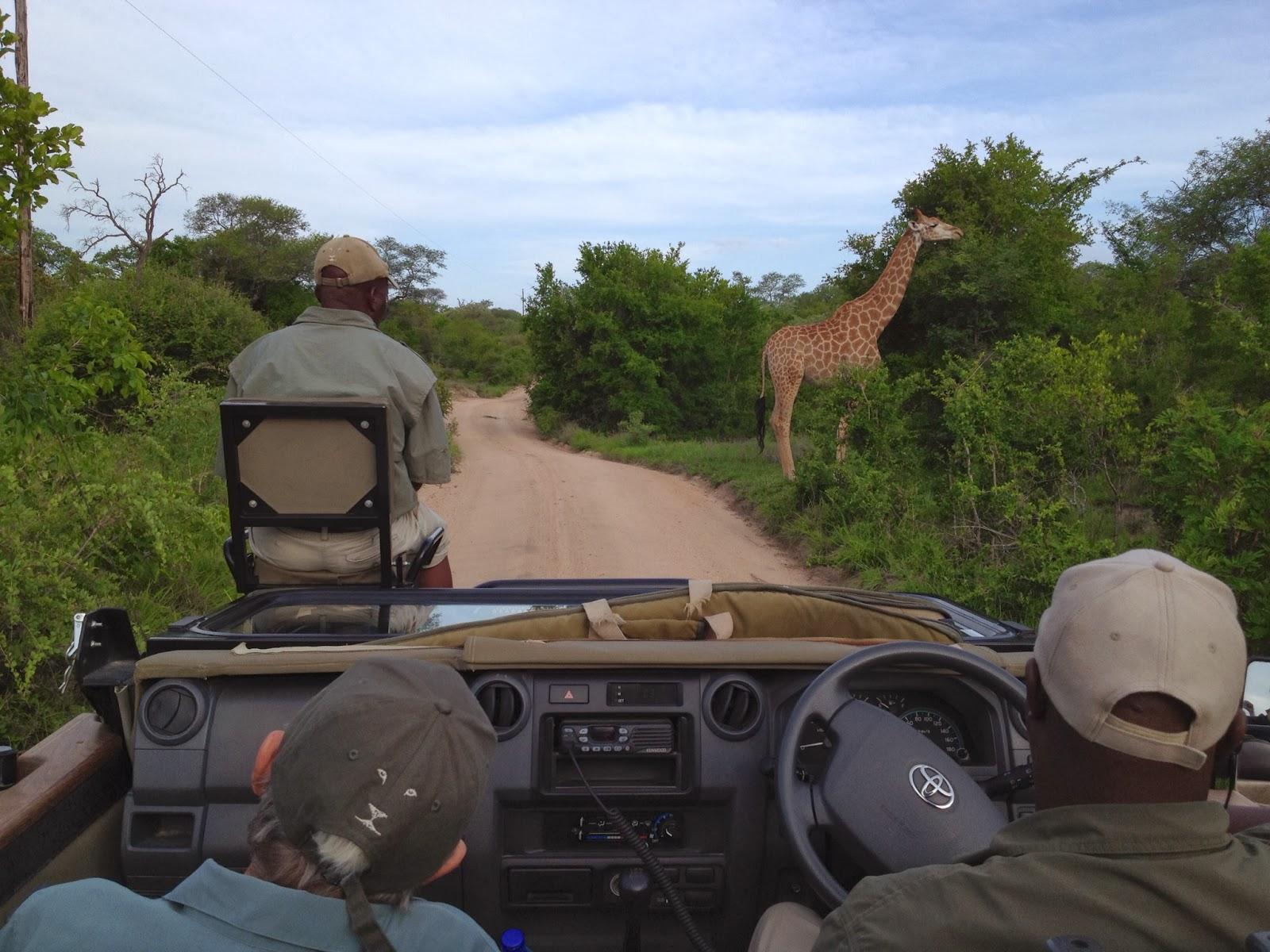Sabi Sands - Giraffe spotted!