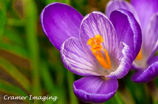 Cramer Imaging's fine art nature macro photograph of a purple crocus flower opening up for springtime