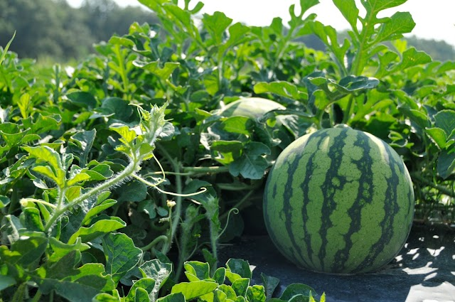 The Benefits Of Watermelon