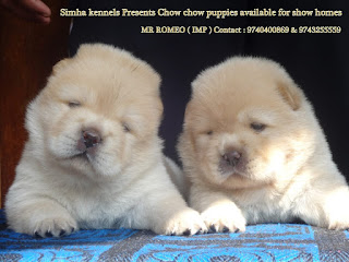 Simha Kennels Chow Chow Dogs Puppies For Sale In Bangalore