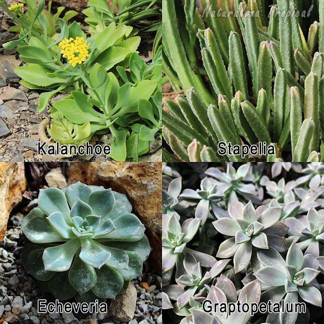 Géneros populares de plantas suculentas en la región tropical de América