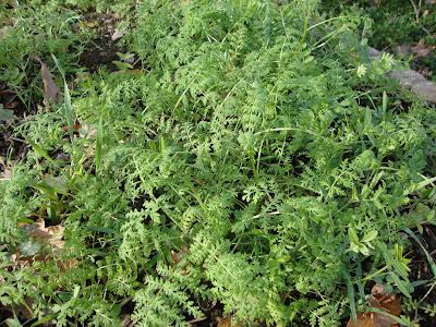 Les semis d'engrais verts (ici : phacélie)