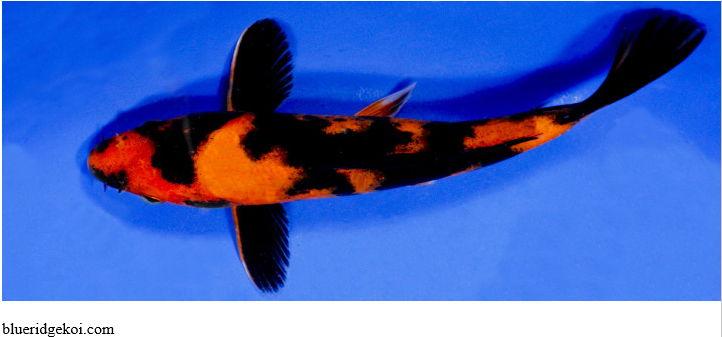 Gambar  Ikan Koi Hi Utsuri