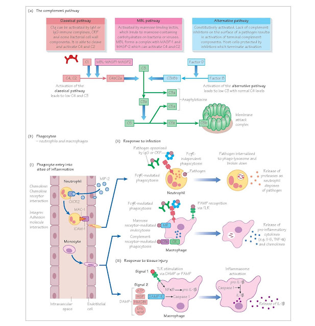 Innate Immunity, The complement system, Pentraxins, Phagocytes, Mast cells, Natural killer cells