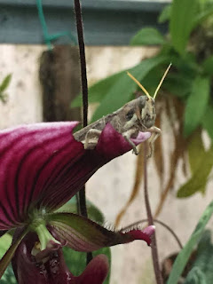 A large brown grasshopper sitting on top of a flower