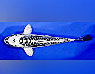 Jenis Ikan Koi Kikokuryu
