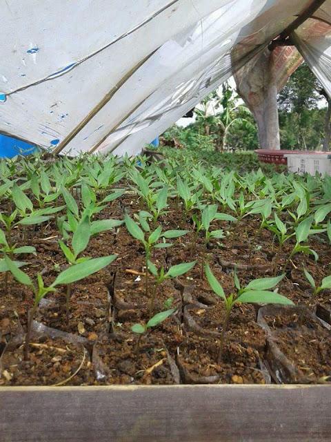 Pembibitan Cabe Menggunakan Campuran Tanah dengan Pupuk Hewan Ternak/Pupuk Kompos