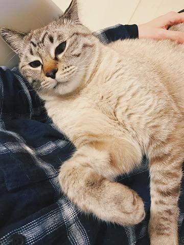 飼い主の膝の上でくつろいでいるシャムトラ猫