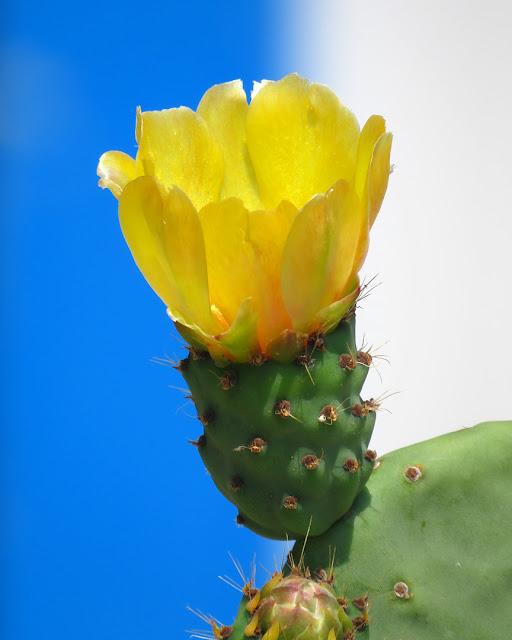 Cactus flower, Spianata del Molo Mediceo, Livorno