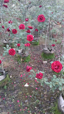 hoa hồng nở hoa đúng tết