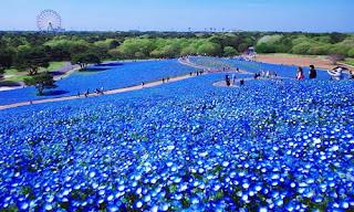 Image result for Hitachi, Pesona Keindahan Lautan Bunga Biru di Negeri Jepang