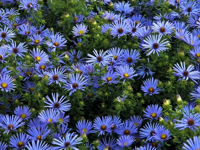 Aster sp, da familia das Asteraceaeendêmica, endêmica (natural) da América do Norte