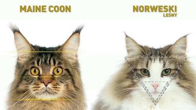 Maine Coon Cat Vs Norwegian Forest Cat