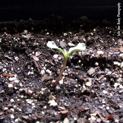 Chianti Hybrid Sunflower Seedling