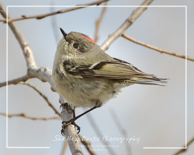 Ruby-crowned Kinglet. Copyright © Shelley Banks, all rights reserved.