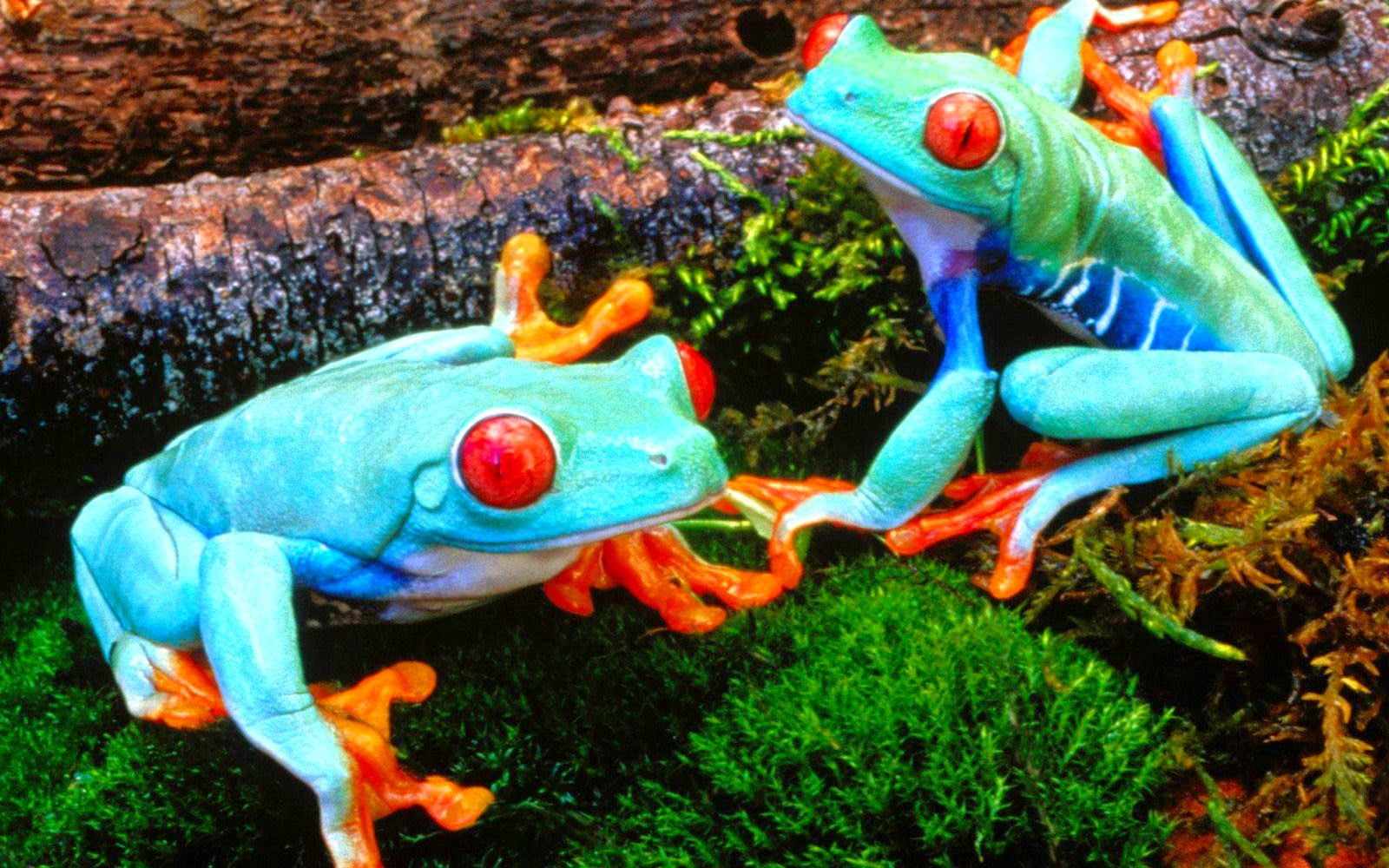frogs animals hd wallpapers