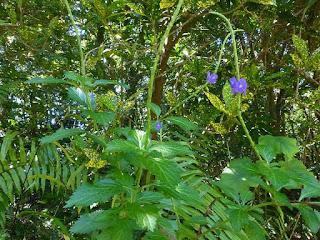 Stachytarpheta jamaicensis - Verveine bleue