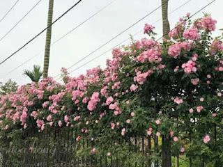 hình ảnh cây hoa hồng tầm xuân