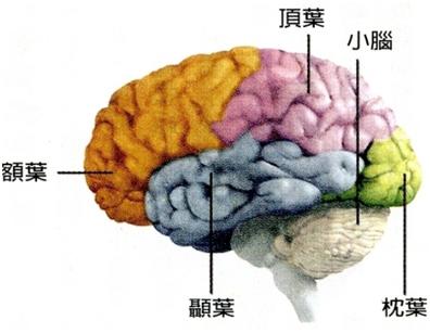 情緒腦 (Emotional Brain): 大腦的四個腦葉