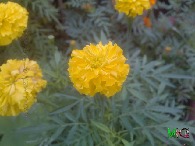 Metro Greens: A yellow marigold bloom