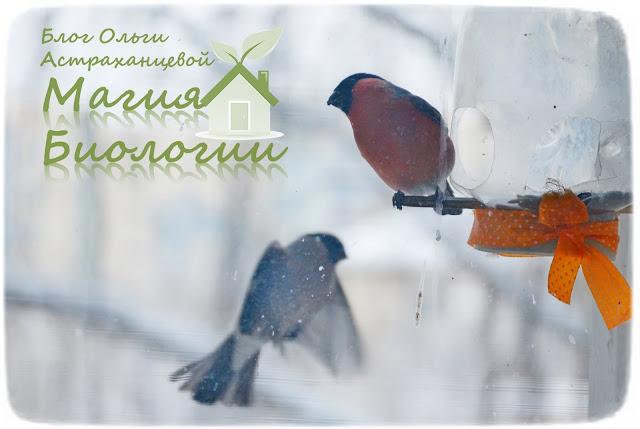 наблюдение-птиц-на-кормушках-магия-биологии-снегири-самец-самка