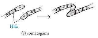 Perkembangbiakan Fungi secara generatif ialah perkembangbiakan Cara Reproduksi Fungi : Seksual (generatif) dan Aseksual (Vegetatif)