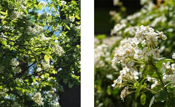 Hvide blomster i Paris's parker