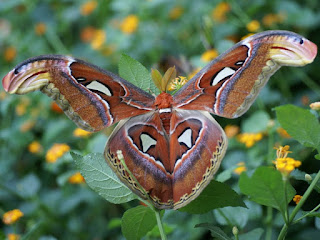 Attacus atlas - Bombyx atlas
