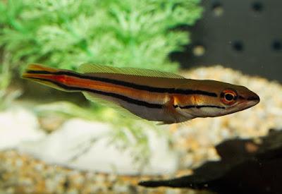 Ikan Channa Micropeltes
