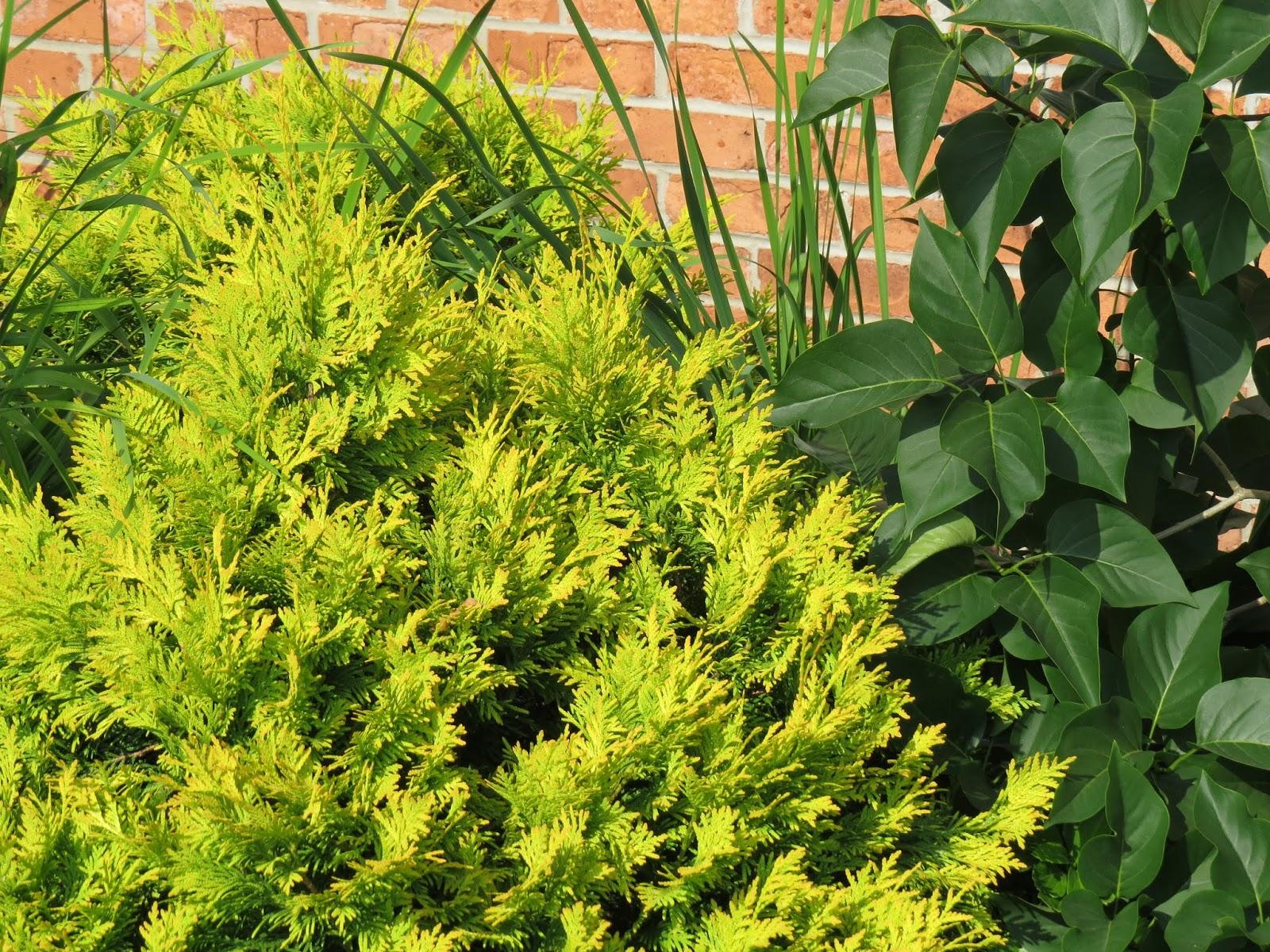 juniper with golden needles