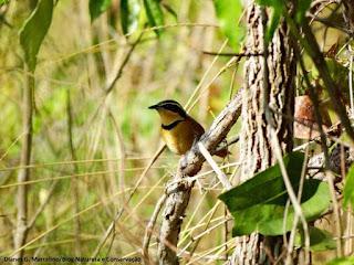 aves do brasil, tapaculo de colarinho, meia lua do cerrado, Melanopareia torquata, aves do cerrado, birdwatching, Tocantins, birding, birds of the savanna, ornitologia, birds, pássaros, aves, observação de aves, natureza e conservação