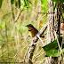 Tapaculo-de-colarinho encanta turistas de observação de aves