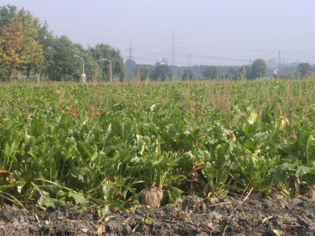 Zuckerrüben am Feldrand | pastasciutta.de