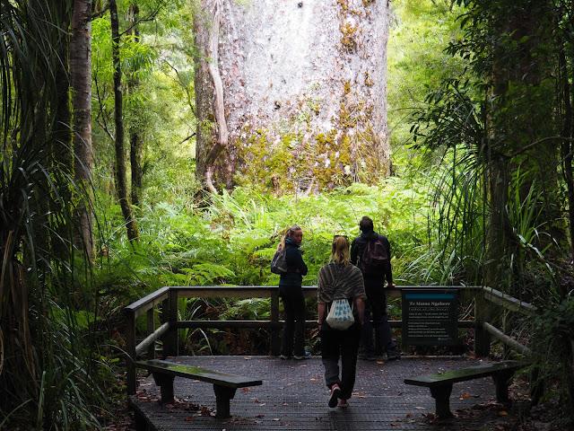 Neuseeland, Kauri Bäume