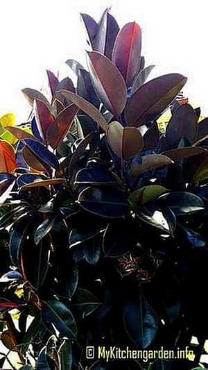 How To Care For A Rubber Tree Plant :Caring Rubber Plant