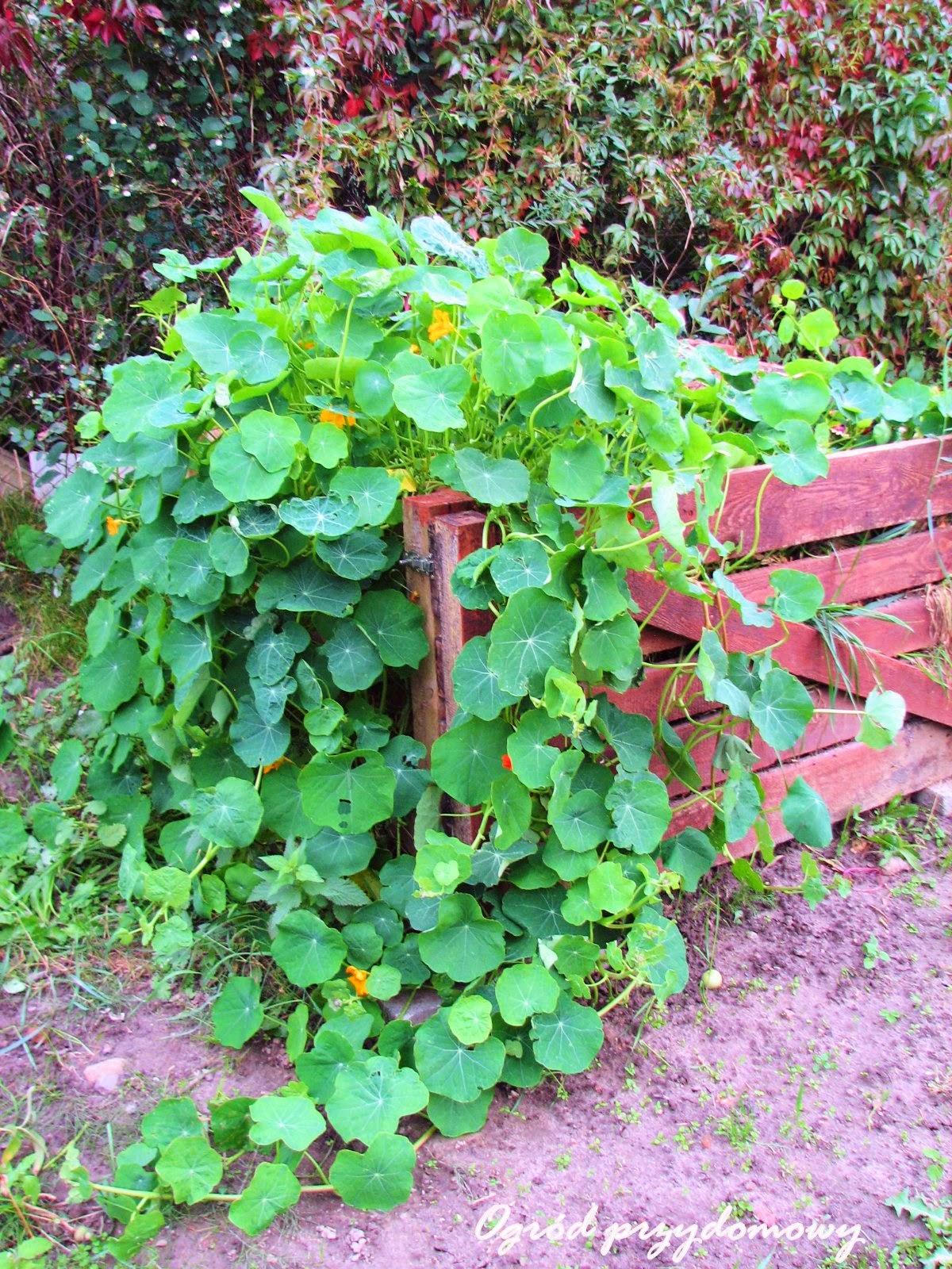 nasturcje na kompoście, ogród przydomowy