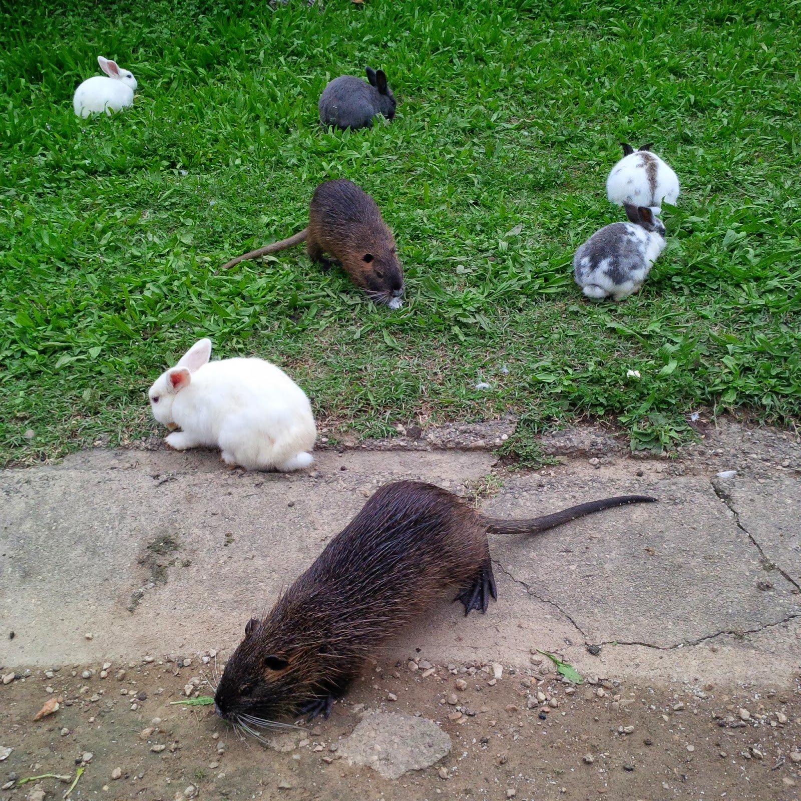 Rabbits and a nutria feast together in Parco Querini in Vicenza