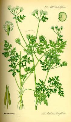 Anthriscus cerefolium