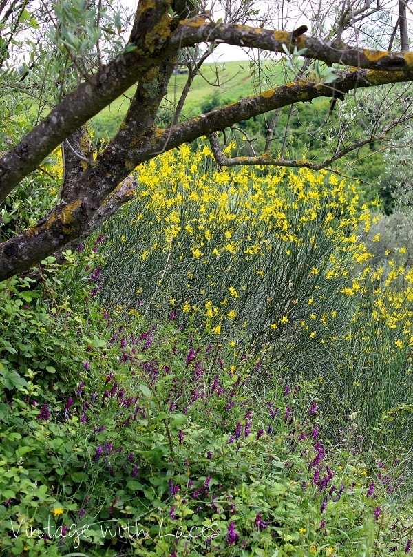 Olive tree and yellow ginista