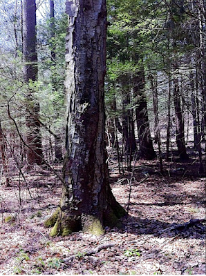 108-foot Black Birch Tree in Broad Brook Forest, Northampton MA