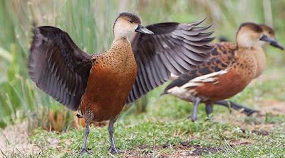 Mengetahui Lebih Dekat Jenis Burung Belibis Yang Ada Di Indonesia Terlengkap