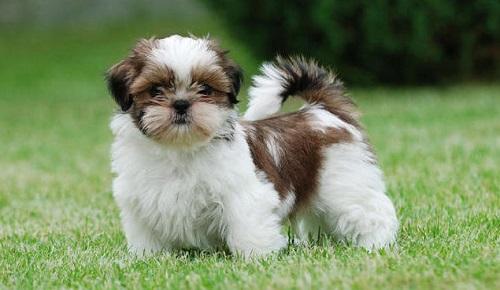 Shih Tzu Tüy Döker Mi? Nasıl Bir Köpek Türüdür?