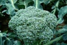 14 Fakta Manfaat Sehat Sayur Brokoli Untuk Tubuh
