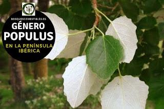 El género Populus  son arboles caducifolios de hojas simples, alternas, estipuladas