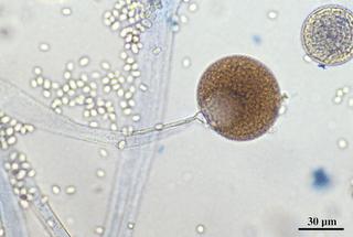 Mikroba Endofit