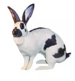 Gambar kelinci raksasa jenis checkered giant terbesar